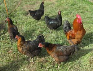 poule pondeuse 31